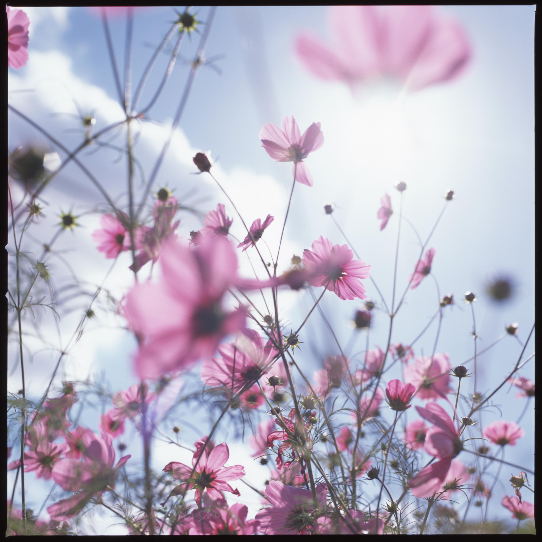 空に向けて咲く【万博記念公園コスモスフェスタ】